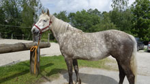 Festgebundenes Pferd